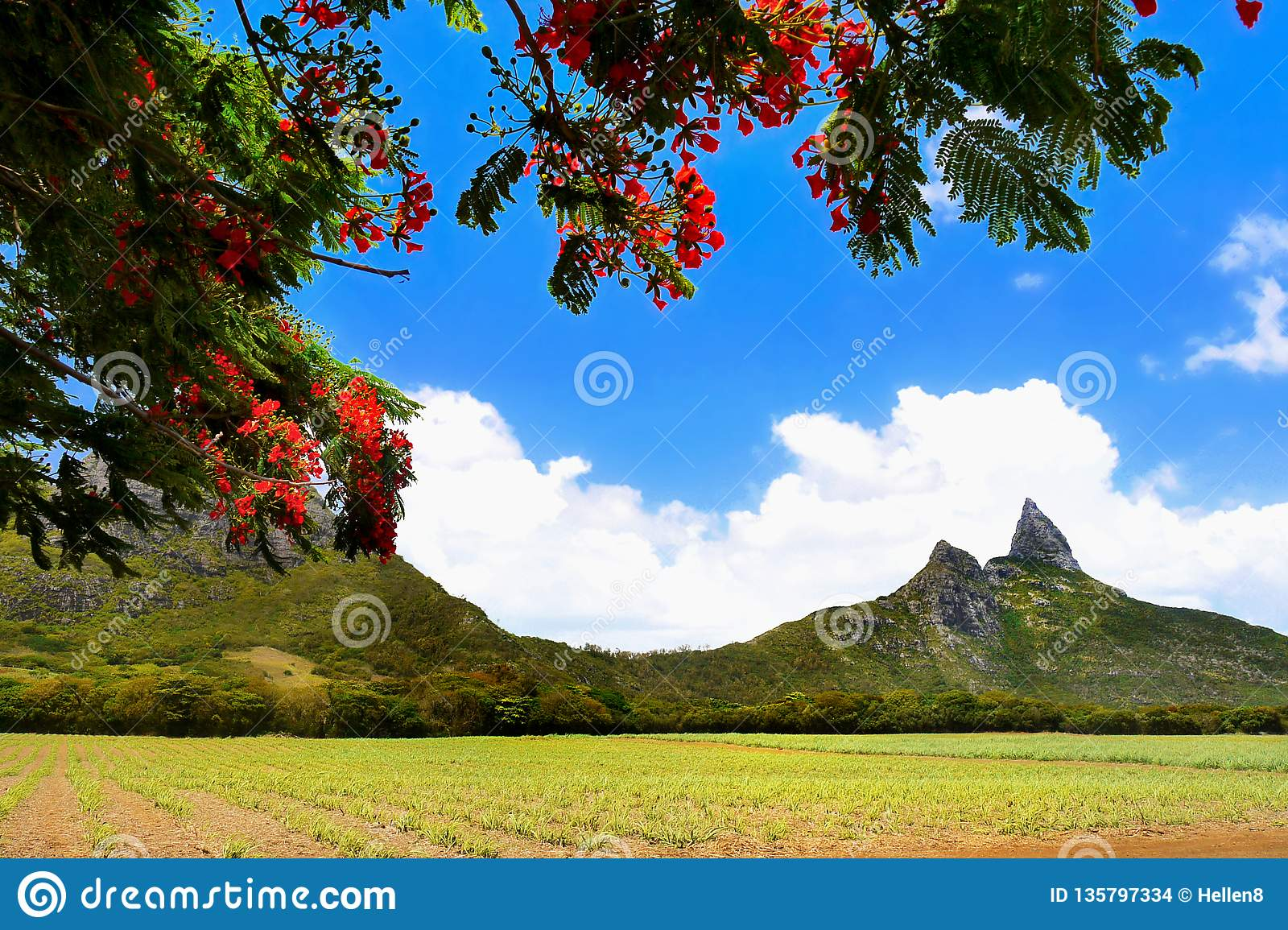 Flamboyant Tree and Mountains,Mauritius Island
