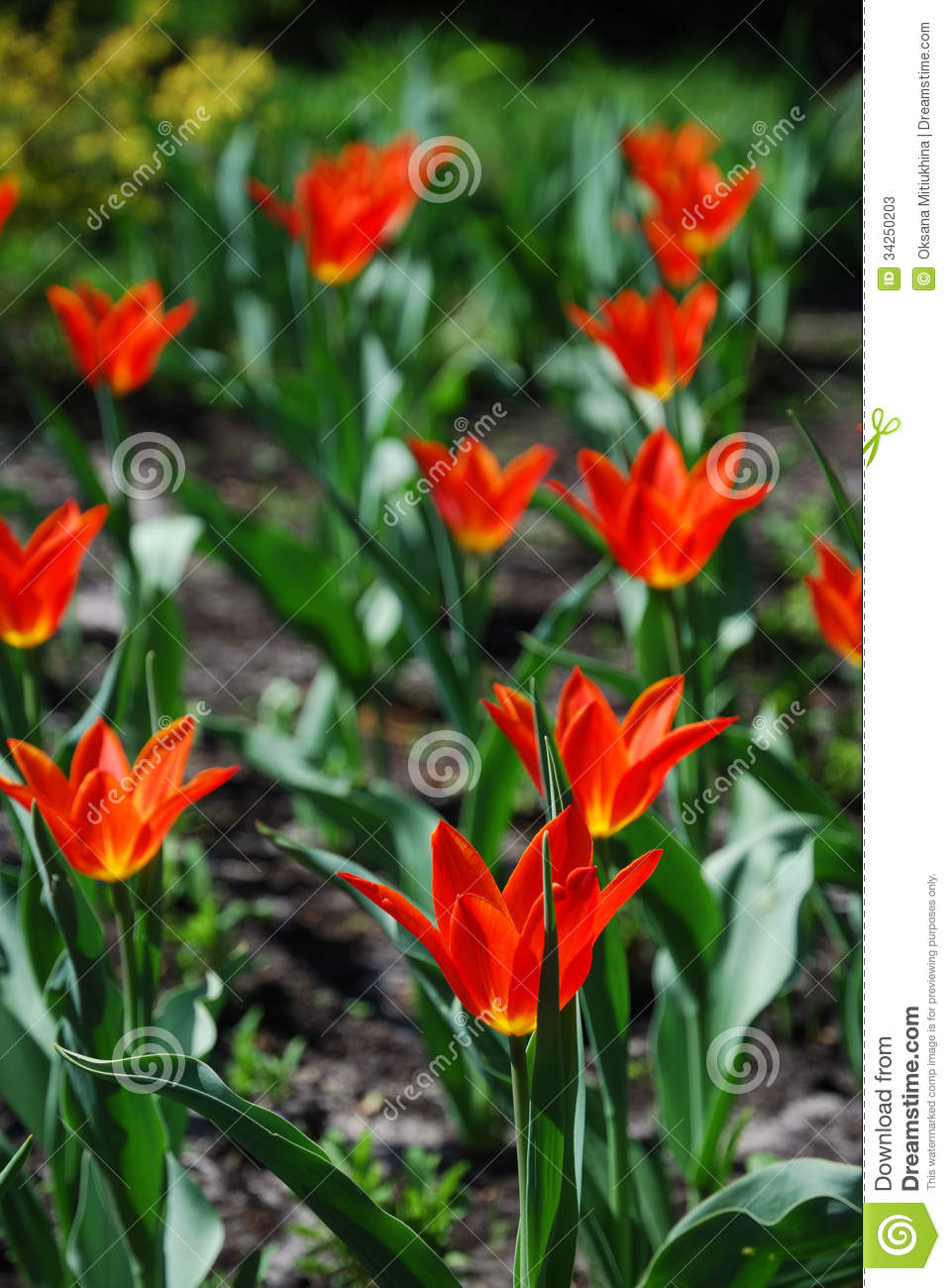 Blooming flowerbed of orange tulips stock image image for Green plants for flower beds