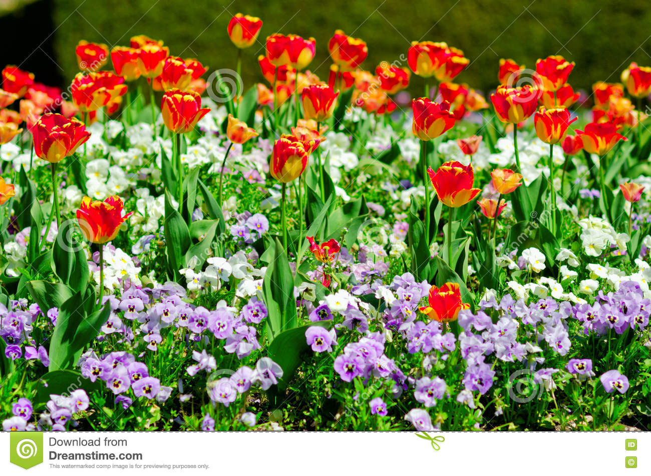 Blooming Flowerbed With Red Tulips And Pancies Flowers