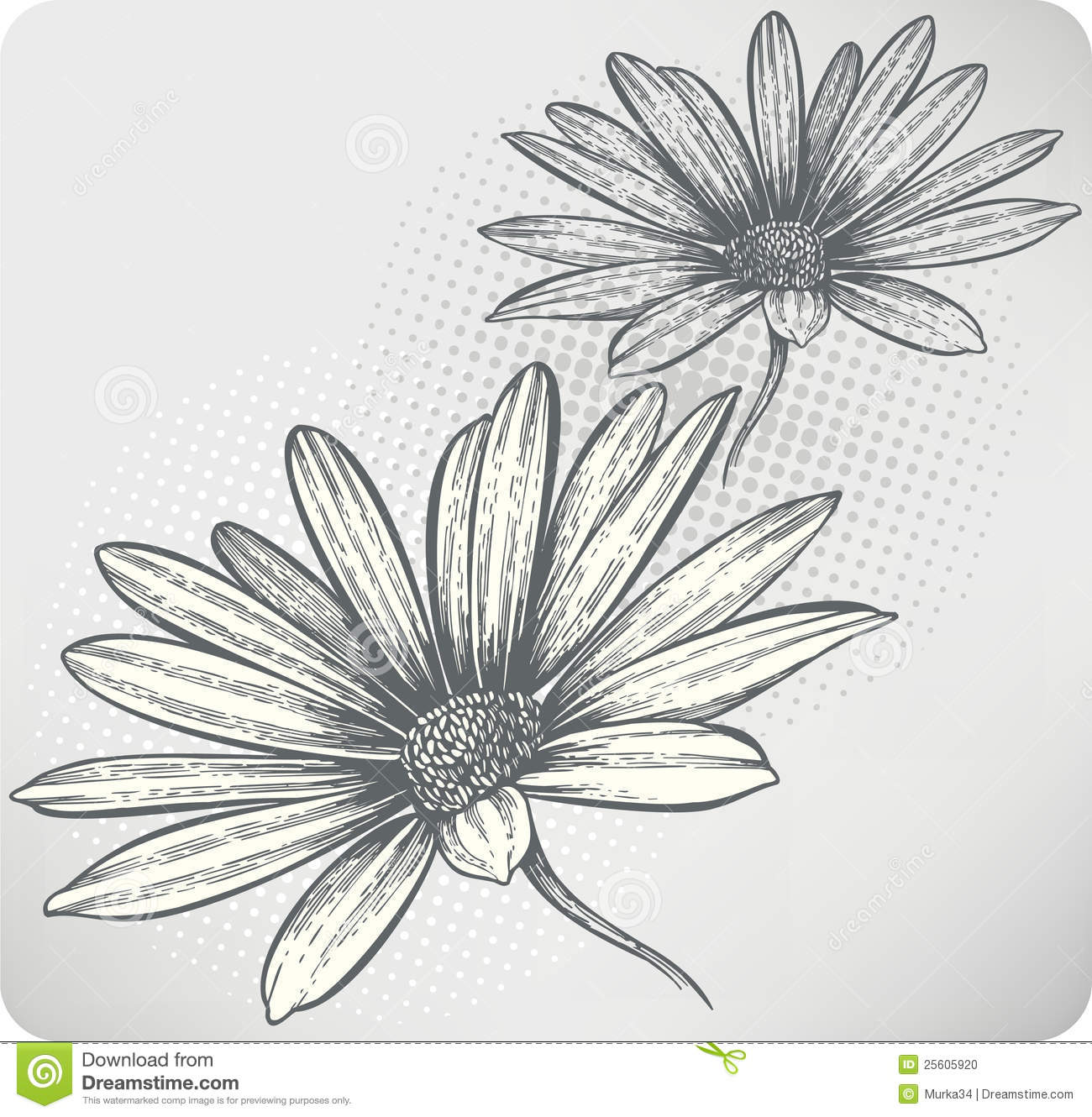 blooming flowers osteospermum handdrawing vecto stock