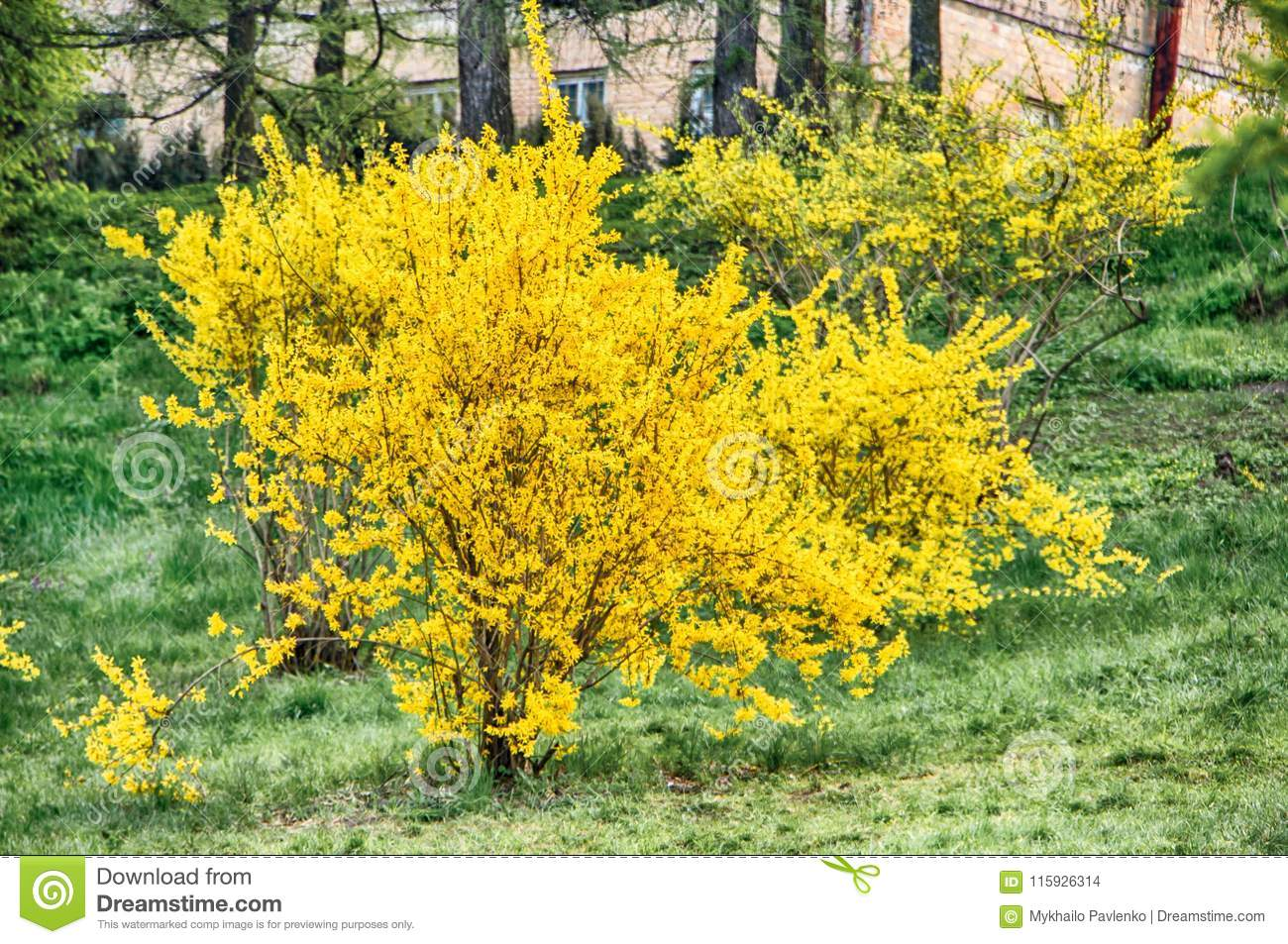 Blooming Forsythia In Early Spring Yellow Flowers Stock Photo