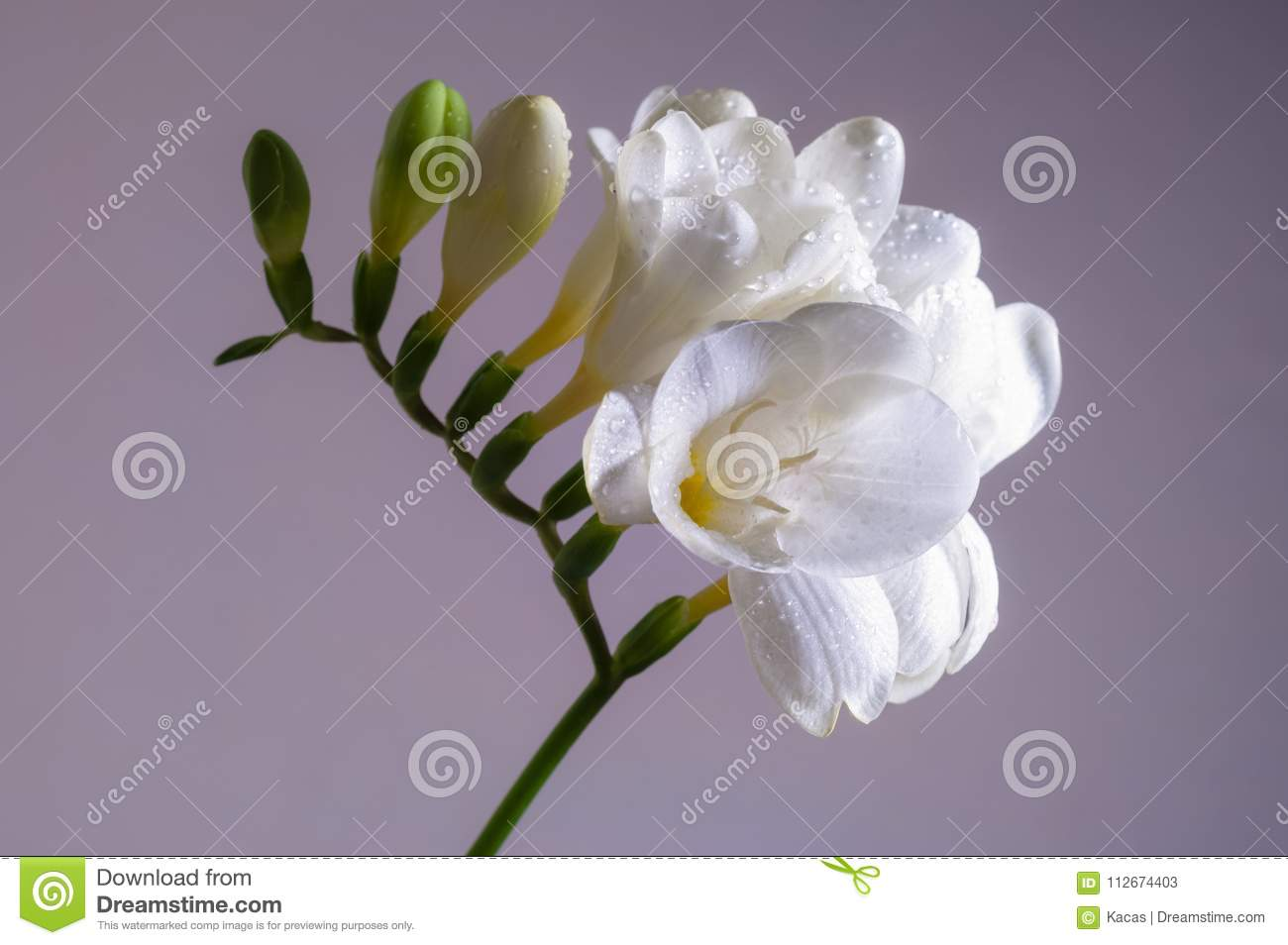 Blooming freesia flower stock image image of colors 112674403 download blooming freesia flower stock image image of colors 112674403 mightylinksfo