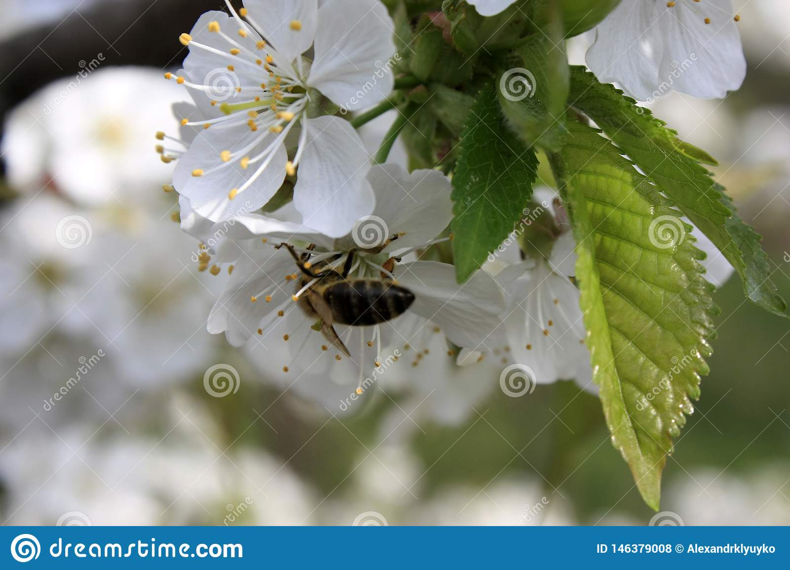 A blooming fruit tree with a bee on a white-pink flower. Blurred background, clear sunny spring day. macro photo