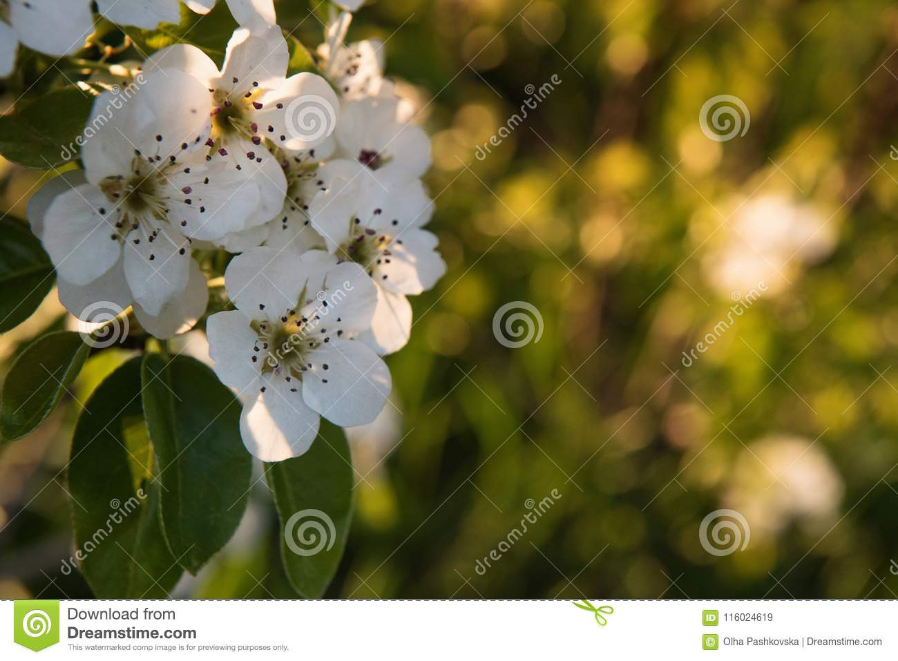 Blooming fruit tree branch unfocused background stock image spring greeting card with blooming branch of pear tree in warm sunset sunshine selective focus background bokeh space for text m4hsunfo