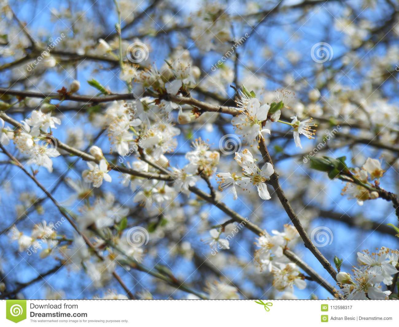 Blooming Fruit Tree With White Flowers In Spring Garden Spring Time