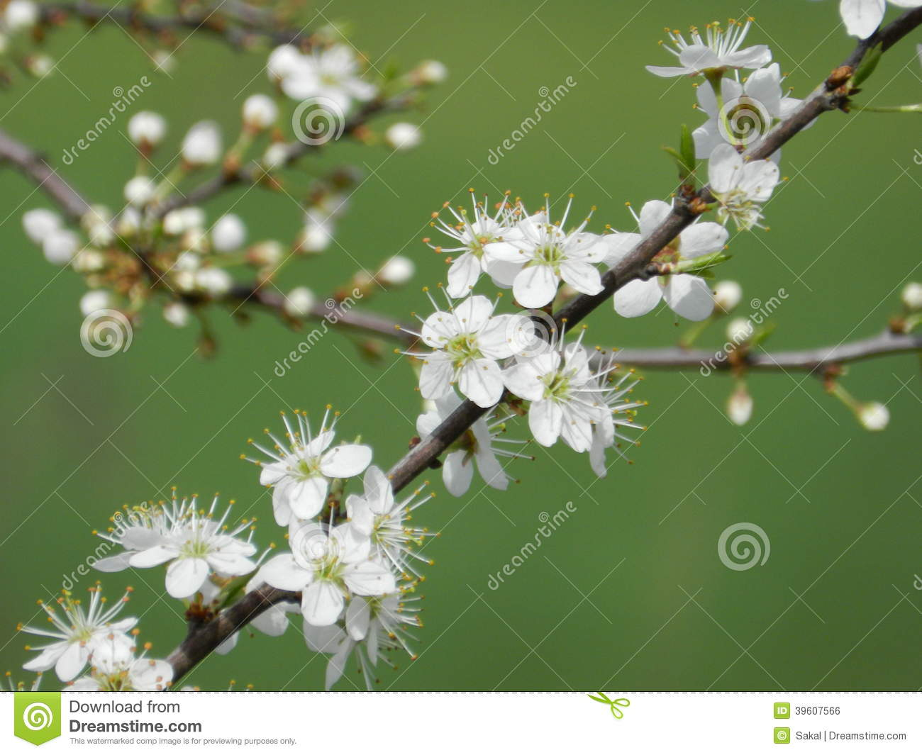 Blooming fruit trees in spring