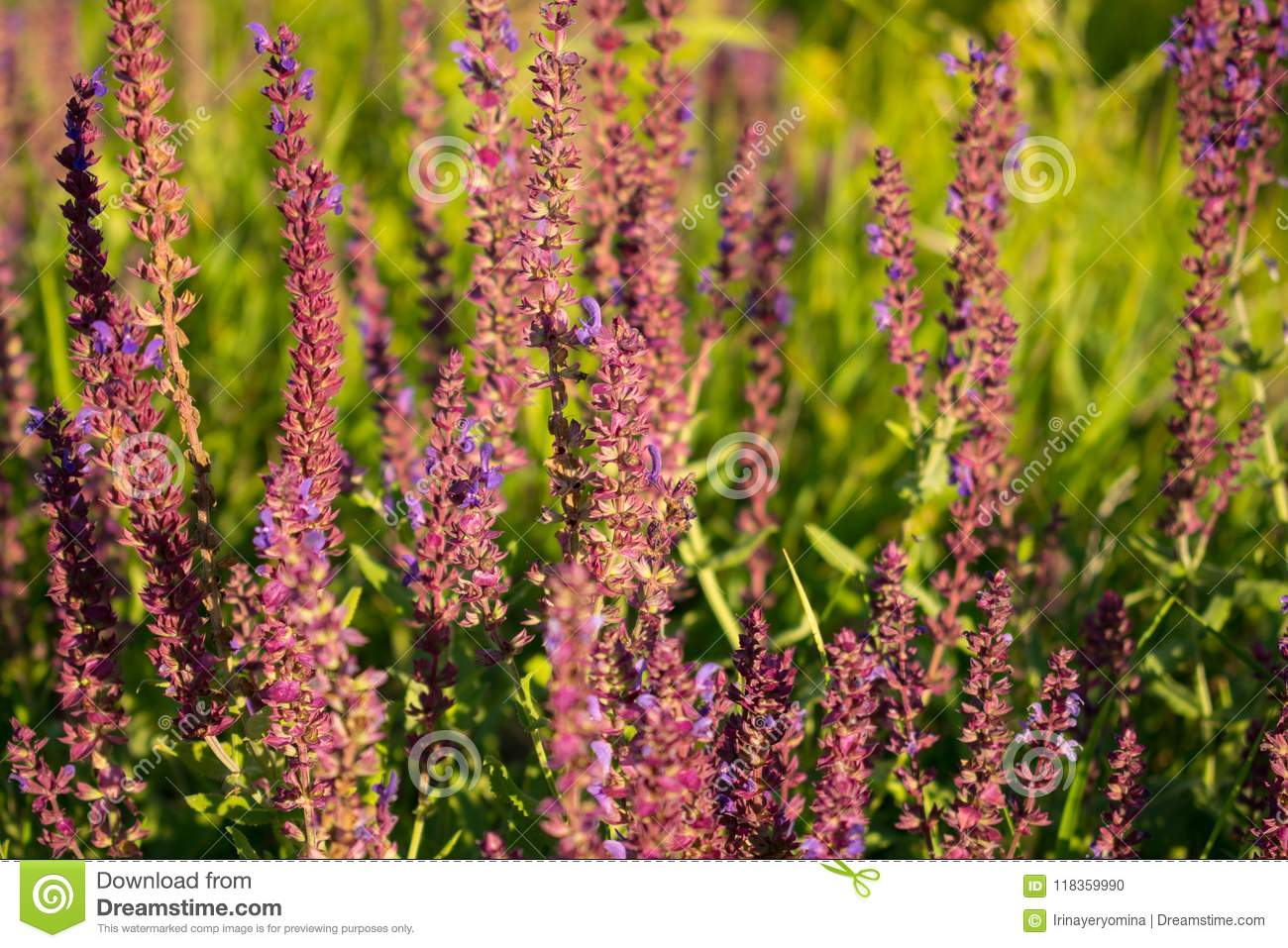 Blooming garden sage (common sage, culinary sage), Salvia officinalis. Field of fresh purple flowers. Pink summer meadow sage