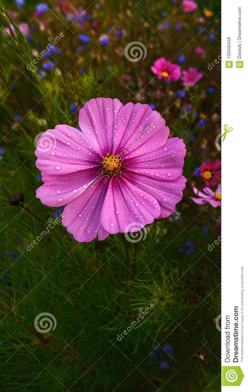 Gesang flower with dewdrop