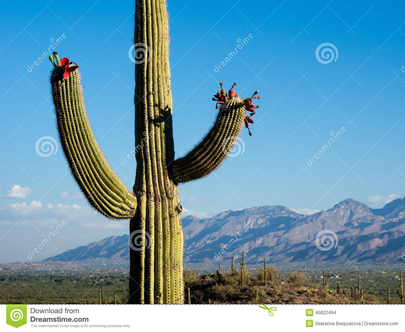 Blooming Giant Cactus At Sunrise Stock Photo - Image of ...