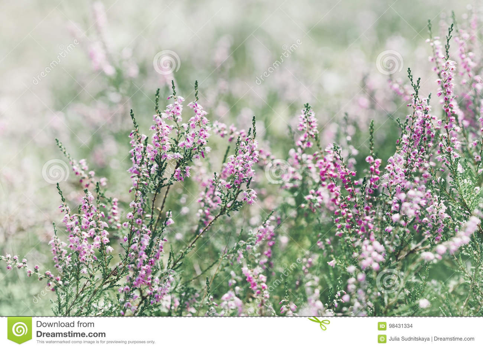 Blooming heather calluna vulgaris, erica, ling in forest.