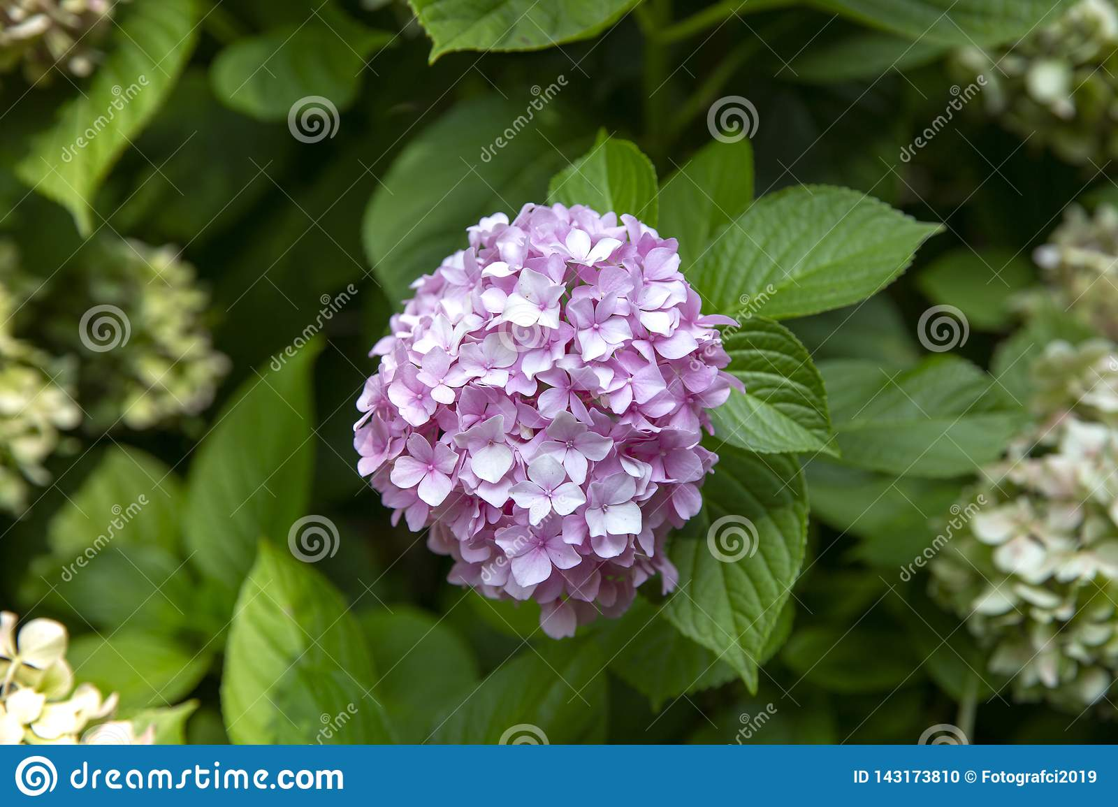Blooming Hydrangea Plant in Springtime