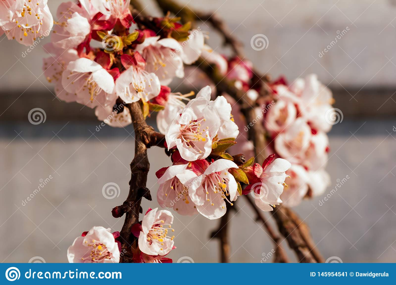 Blooming japanese cherry tree. Blossom white, pink sakura flowers with bright white flowers in the background