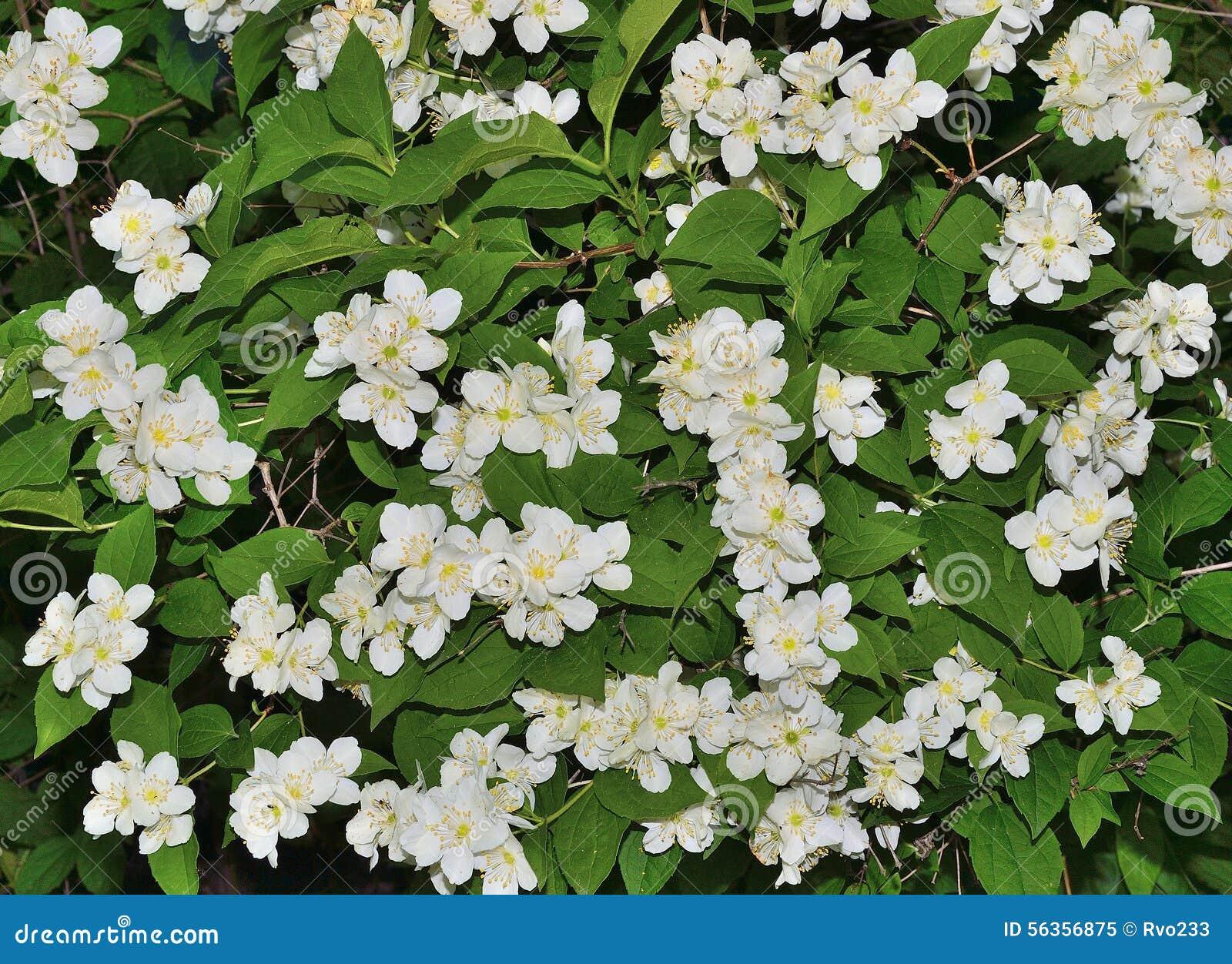 Blooming jasmine bush in the garden close up stock photo - Arbustos con flores ...