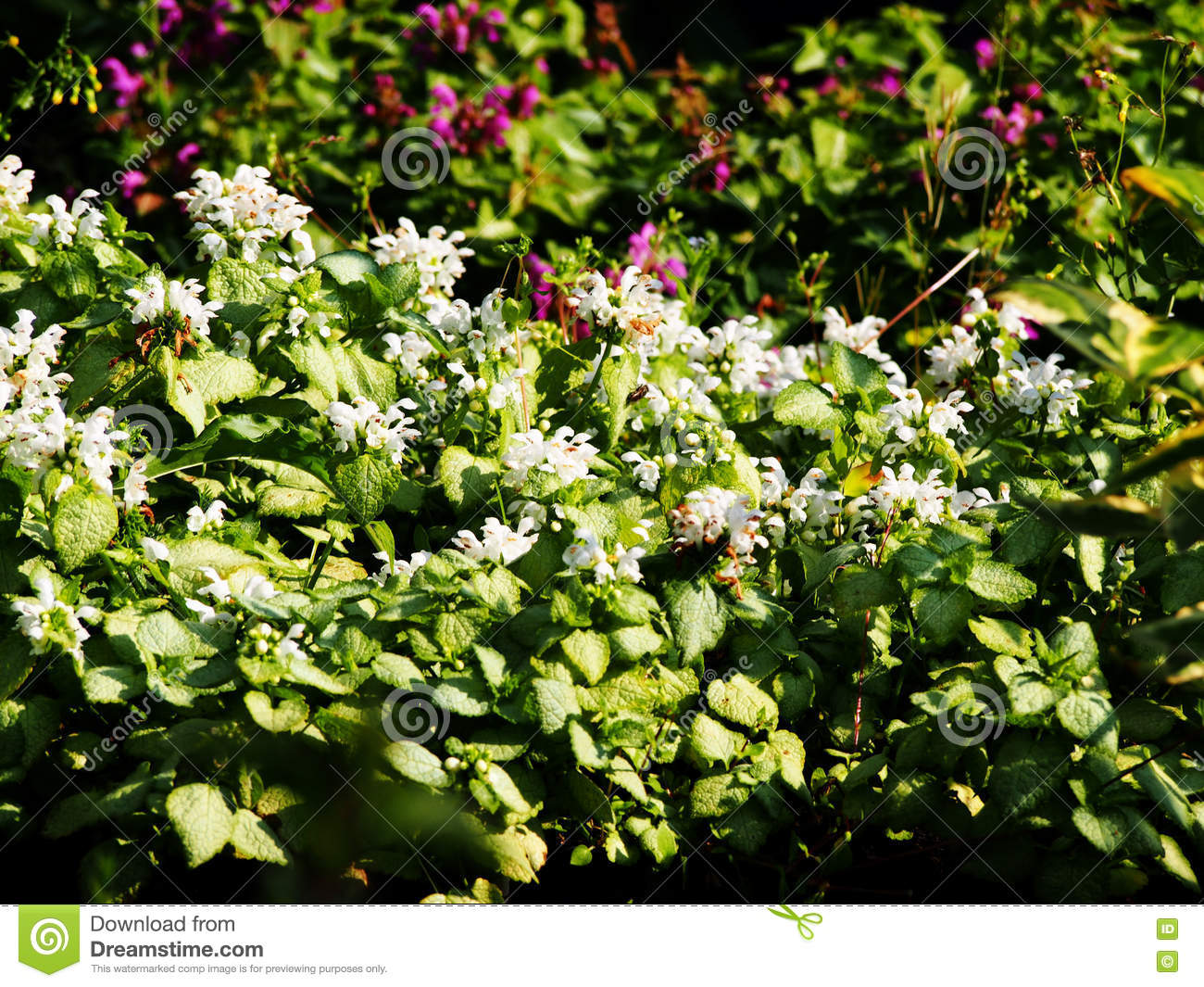 Blooming Lamium White Nancy Stock Image Image Of Ground Dead