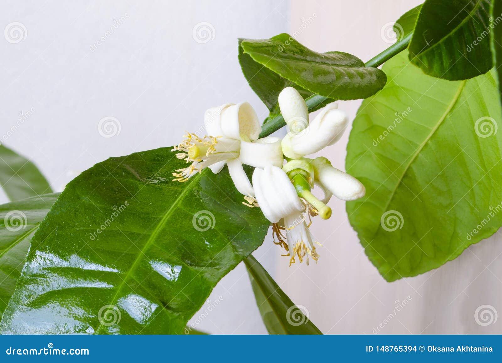 Blooming lemon tree, citrus tree flowers. White flowers with yellow stamens on a lemon tree, lime citrus tangerine. Citrus Blossom