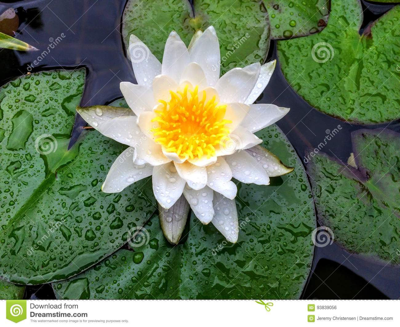 Blooming Lily Flower On Lily Pad Stock Photo Image Of Flowers
