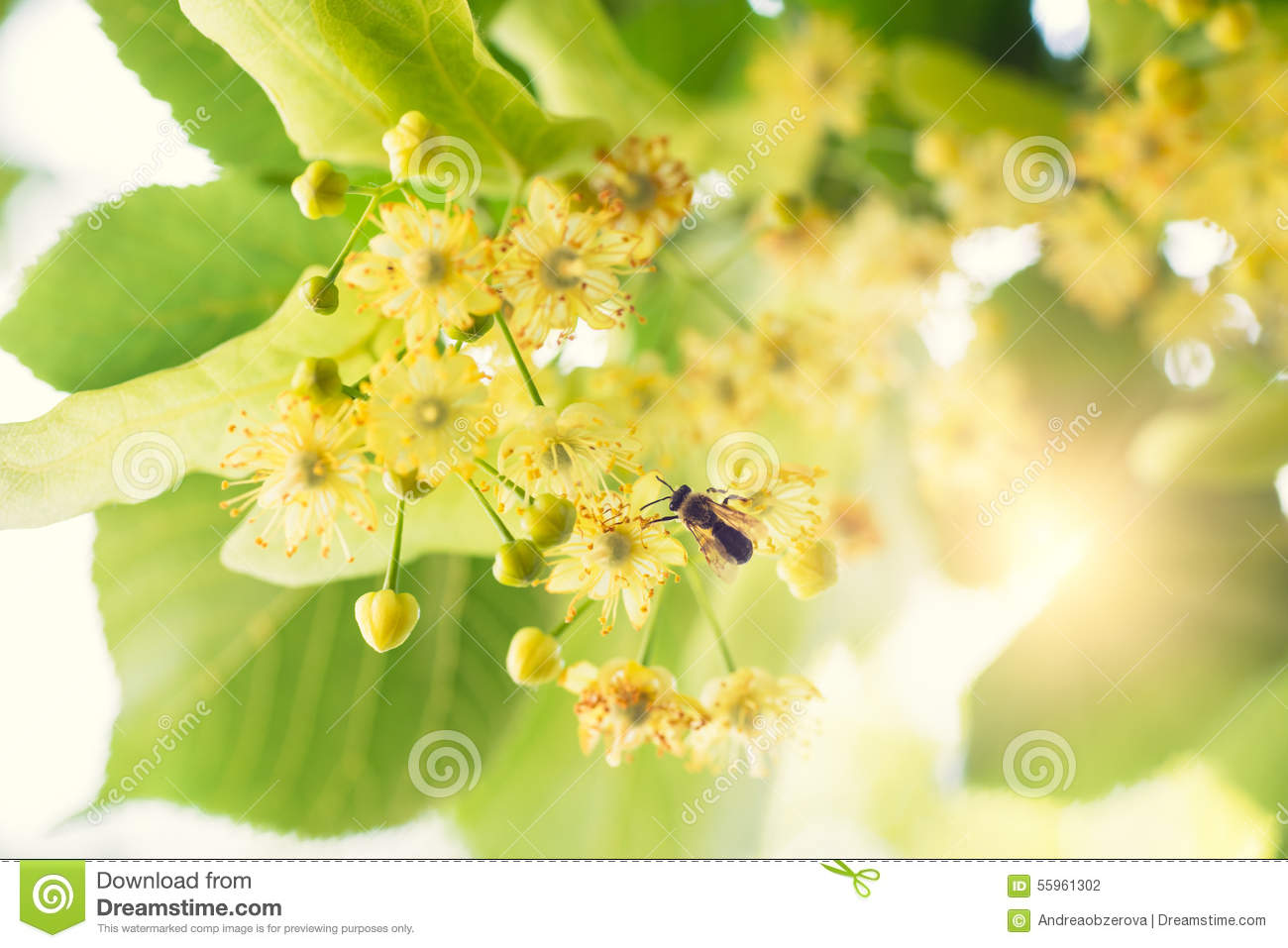 Blooming linden, lime tree in bloom with bees