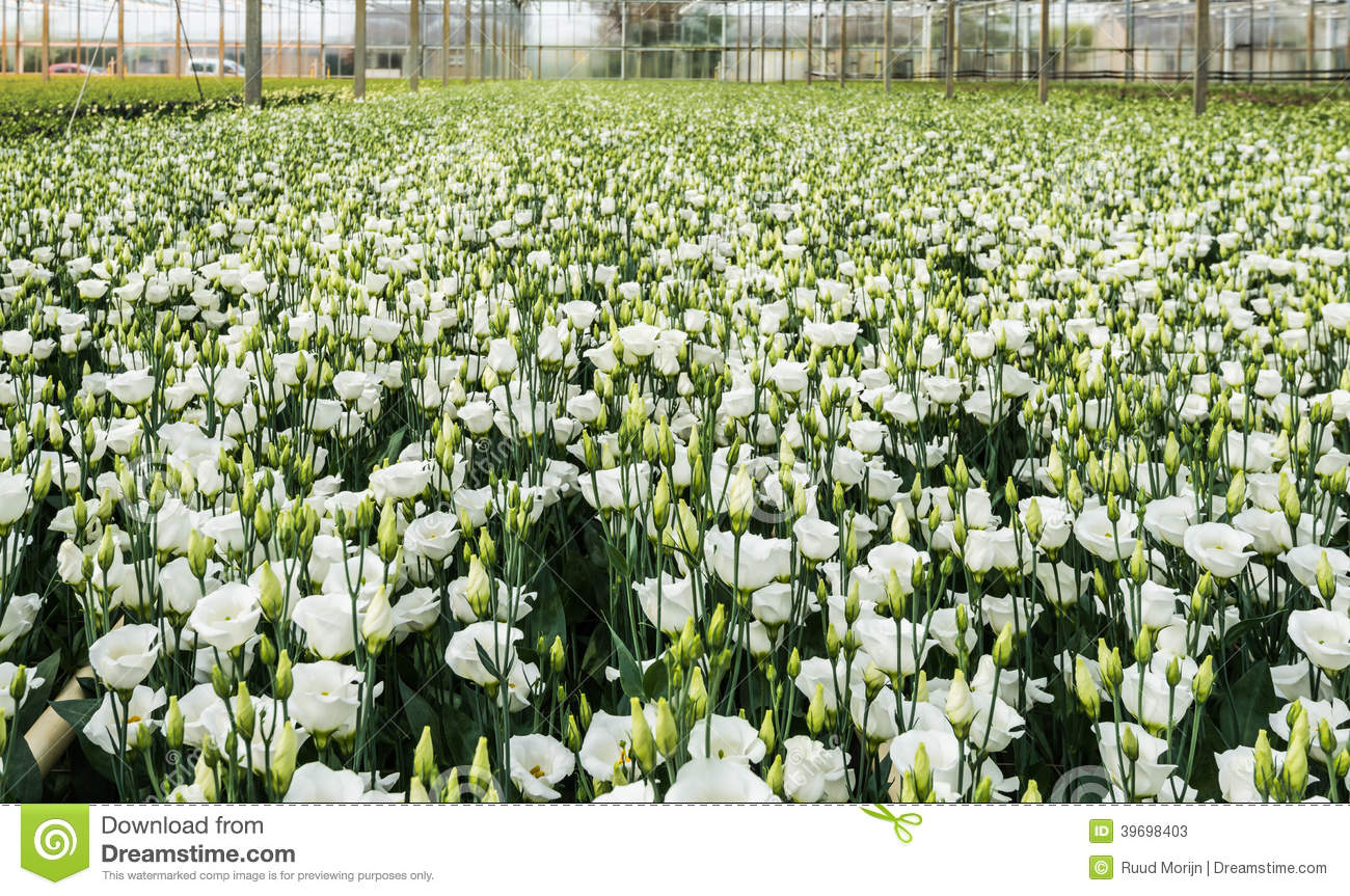 Blooming lisianthus plants in a greenhouse stock image for Large flowering shrubs