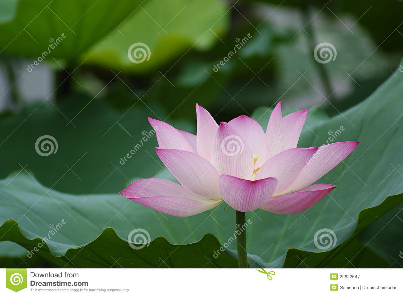 Blooming Lotus Flower Stock Image Image Of China Blossom 29622547
