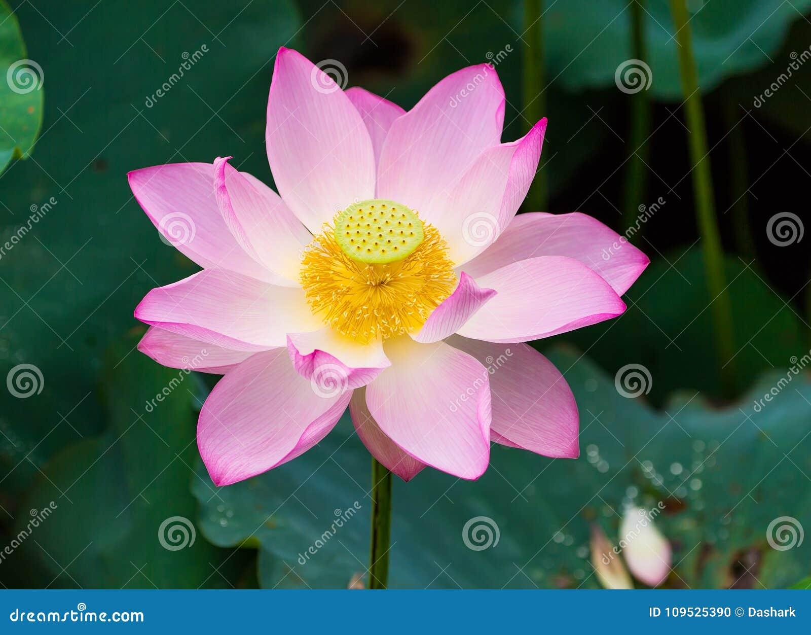 Blooming lotus flower stock photo image of leaf attractive 109525390 download blooming lotus flower stock photo image of leaf attractive 109525390 izmirmasajfo