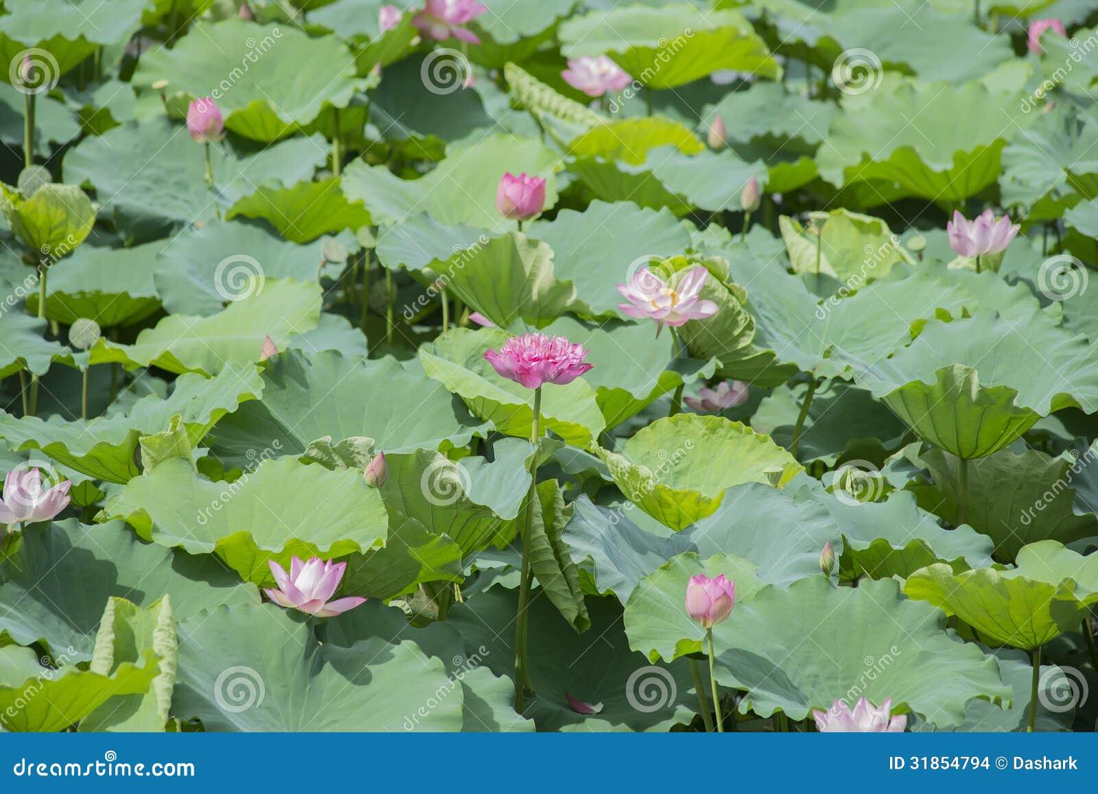Blooming lotus flower pond 31854794g 1300958 pixels louts blooming lotus flower pond 31854794g 1300958 pixels izmirmasajfo Gallery