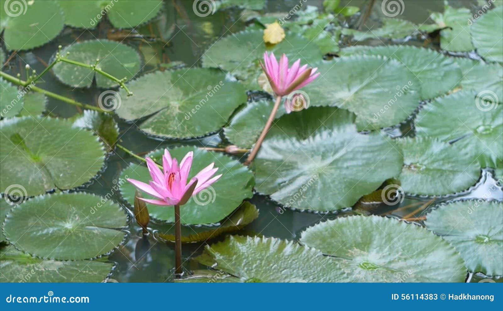 Blooming lotus flower in pond stock video video of fish pond blooming lotus flower in pond stock video video of fish pond 56114383 izmirmasajfo Gallery