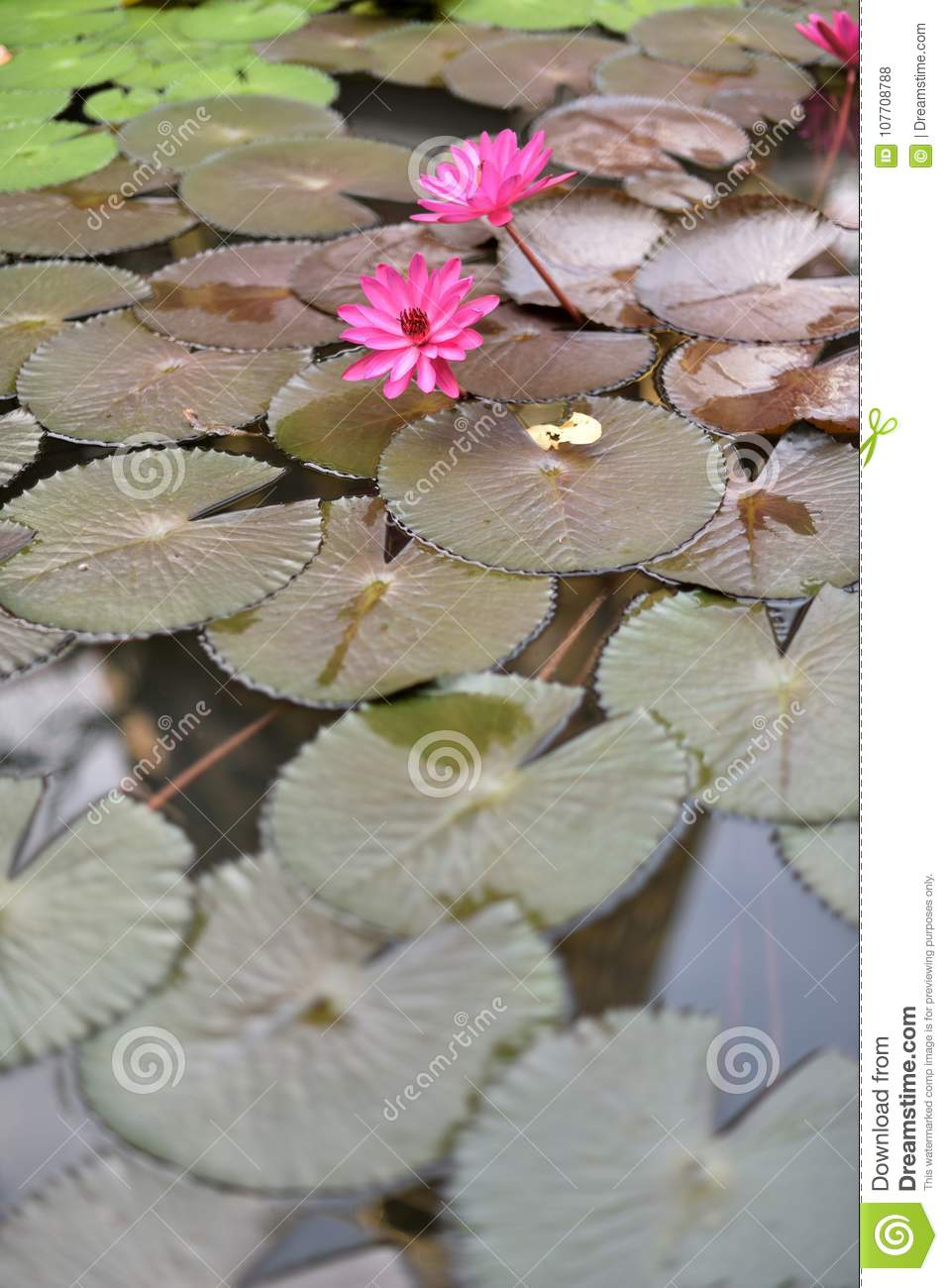 Blooming Lotus Flowers Floating On The Pond Stock Photo Image Of