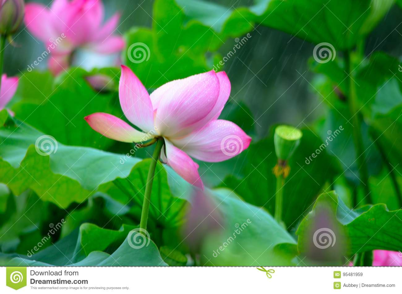 The Blooming Lotus In The Rain Stock Image Image Of Botanical