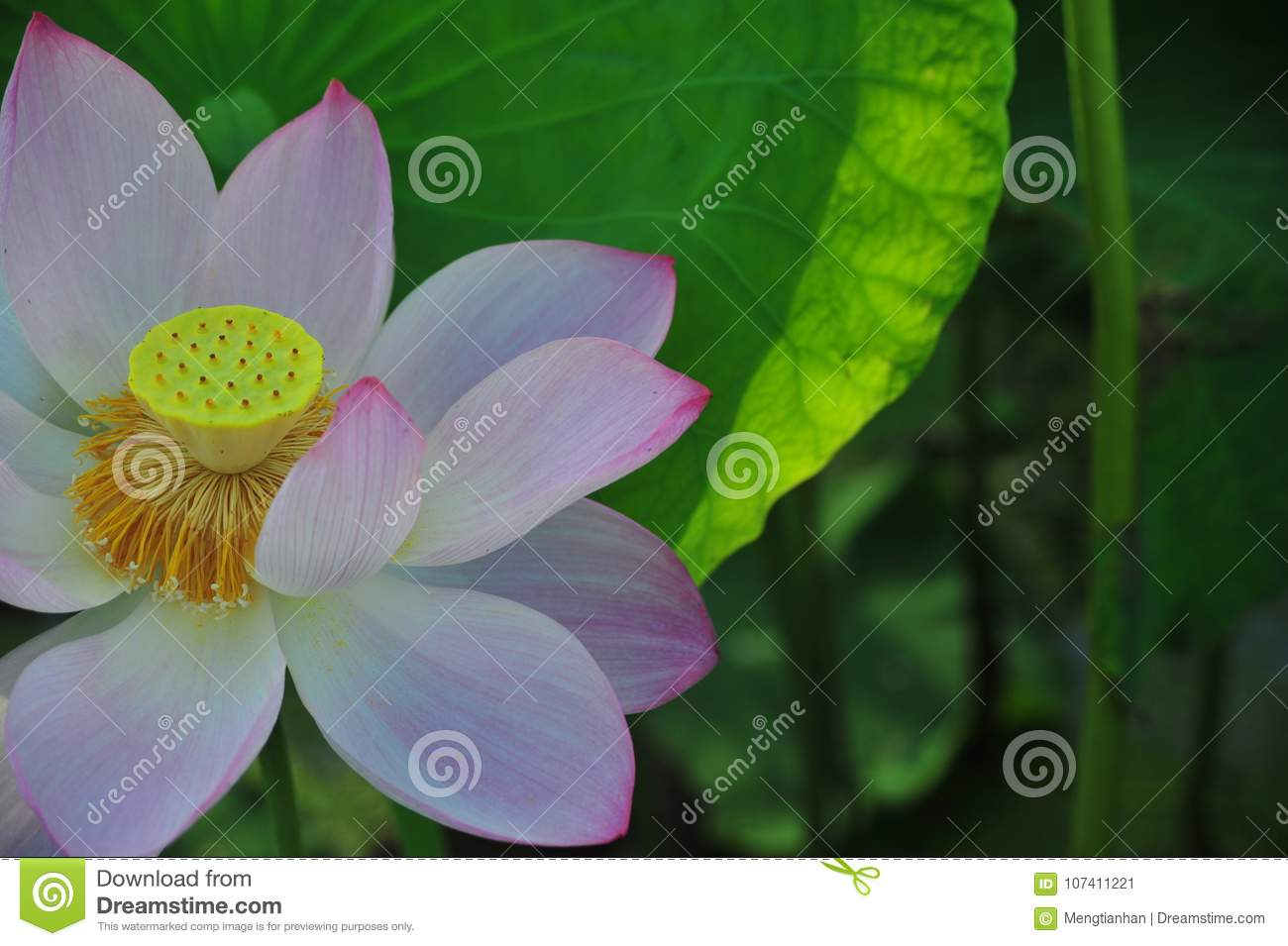 Lotus Field Lotus Flower Stock Image Image Of Leaf 107411221