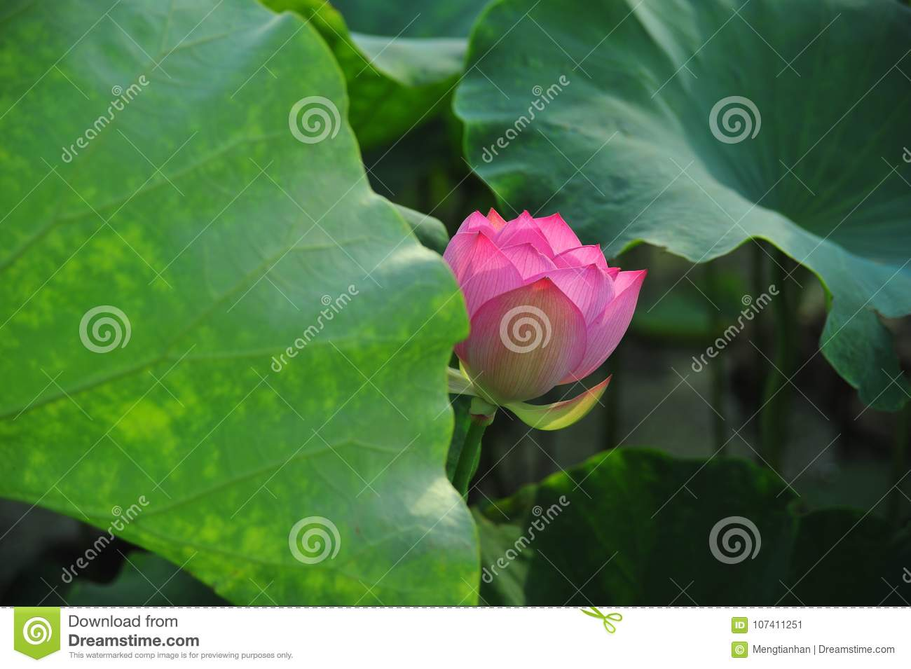 Lotus Field Lotus Flower Stock Image Image Of Field 107411251
