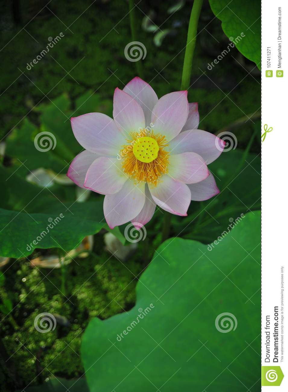 Lotus Field Lotus Flower Stock Image Image Of Lotus 107411271