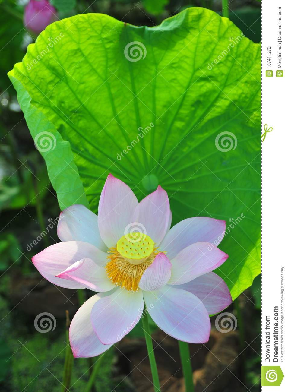 Lotus Field Lotus Flower Stock Photo Image Of Leaf 107411272