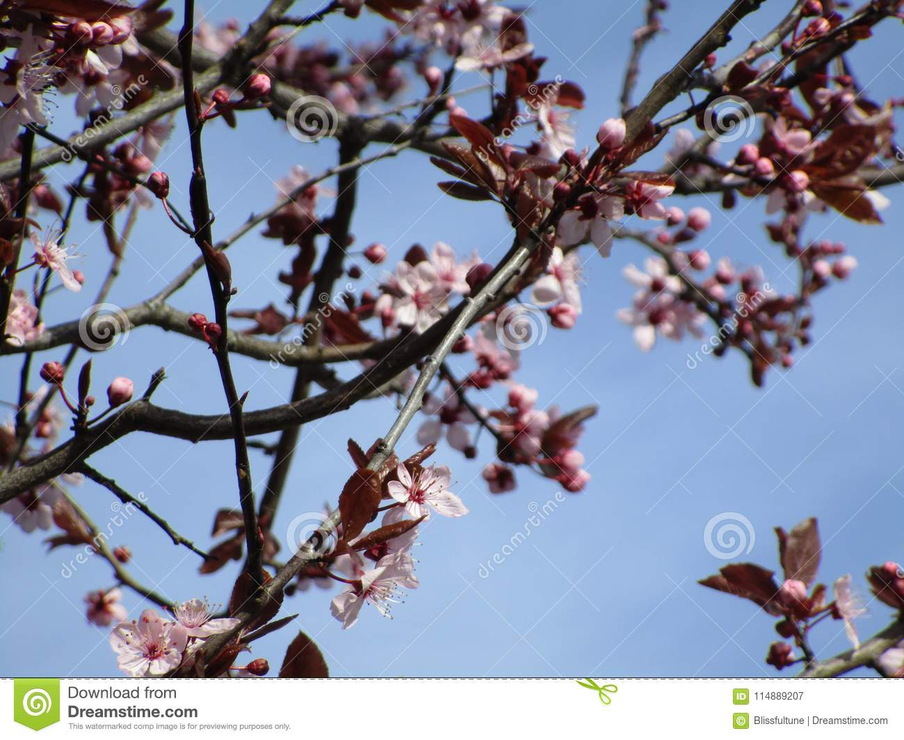 Blooming Lovely And Bright Pink Cherry Blossom Flowers In Season