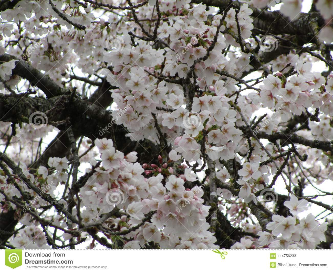 Blooming Lovely And Bright White Cherry Blossom Flowers In Season