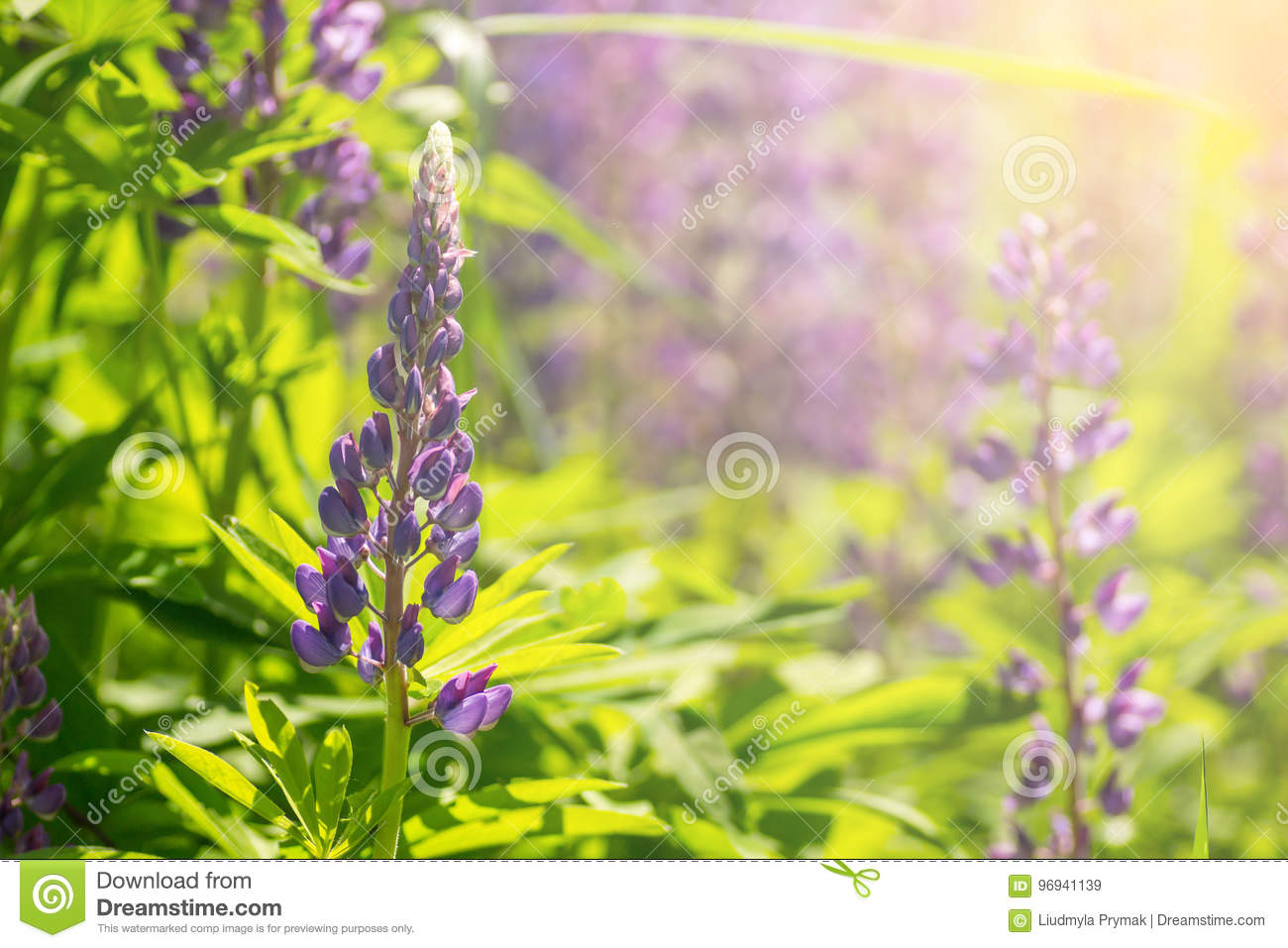 Blooming Lupine Flowers A Field Of Lupines Violet Spring And