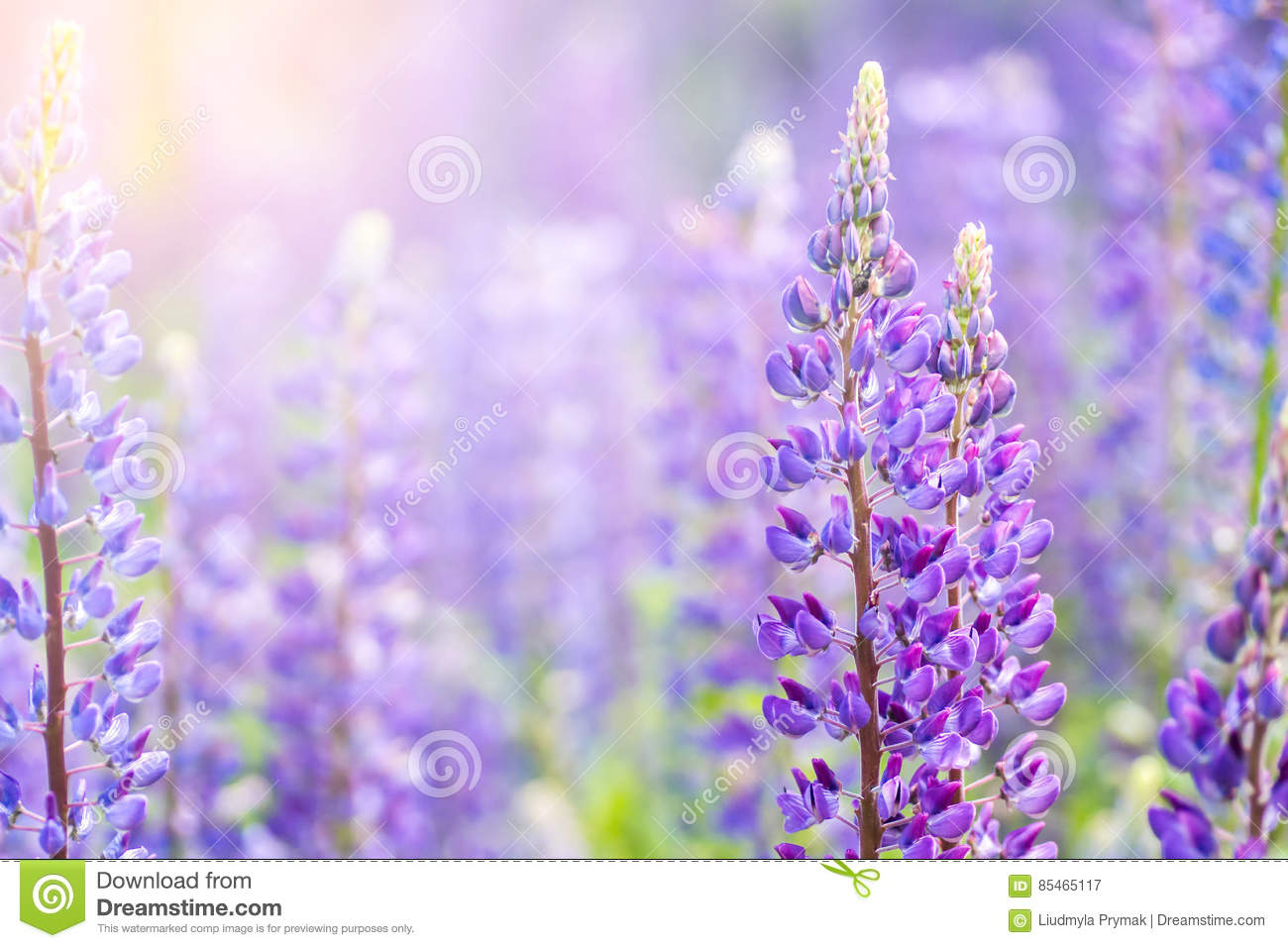 Plants for spring and summer - Blooming Lupine Flowers A Field Of Lupines Violet Spring And Summer Flowers
