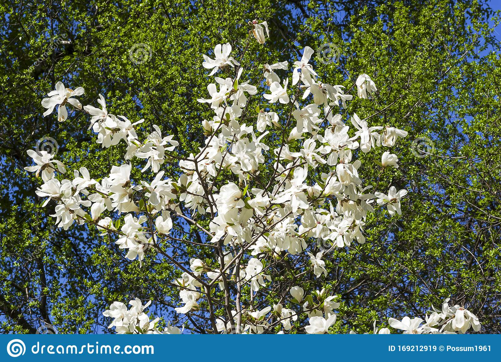 Blooming Magnolia Loebneri Stock Image Image Of Gardening 169212919