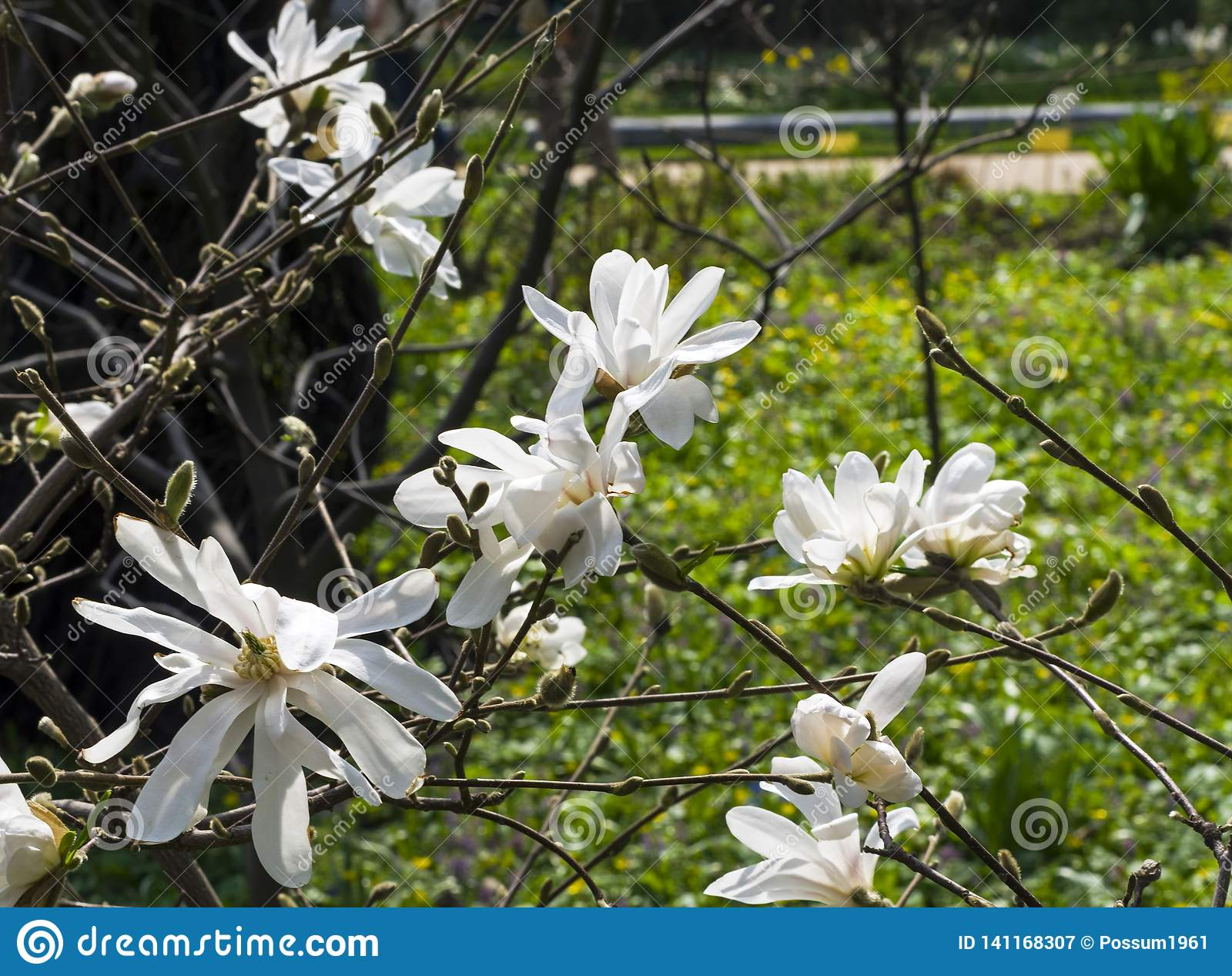 Blooming Magnolia Loebneri Stock Image Image Of Spring 141168307