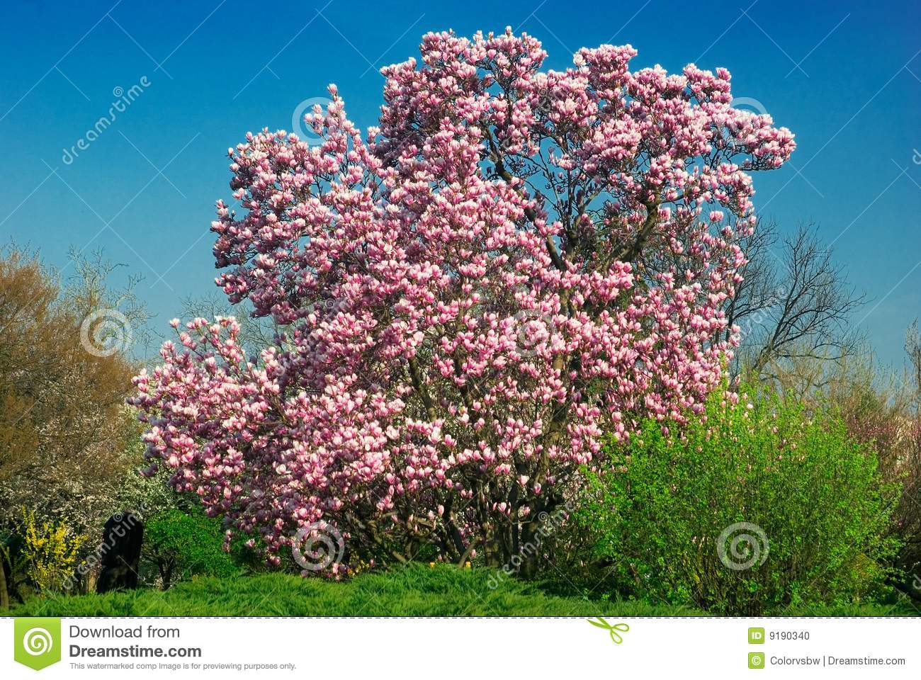 blooming magnolia tree in april stock photo image of botany background 9190340. Black Bedroom Furniture Sets. Home Design Ideas