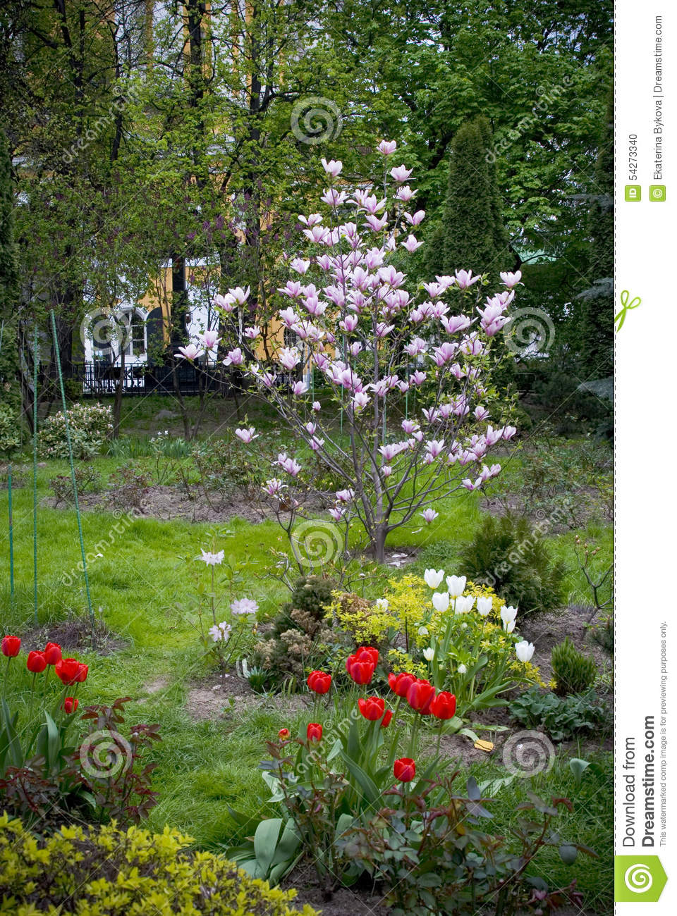 Blooming Magnolia Tree, Red And White Tulips. Stock Photo - Image of ...
