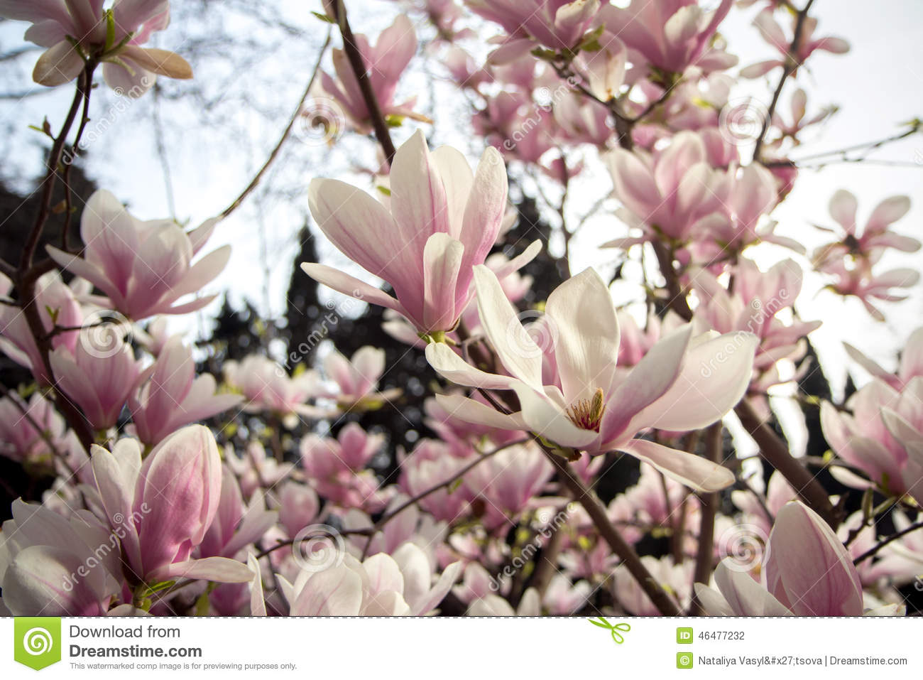 Blooming Magnolia Tree Stock Photo Image Of April Gentle 46477232