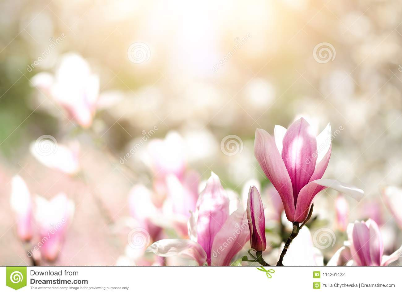 Blooming Magnolia Tree In The Spring Sun Rays Selective Focus Copy