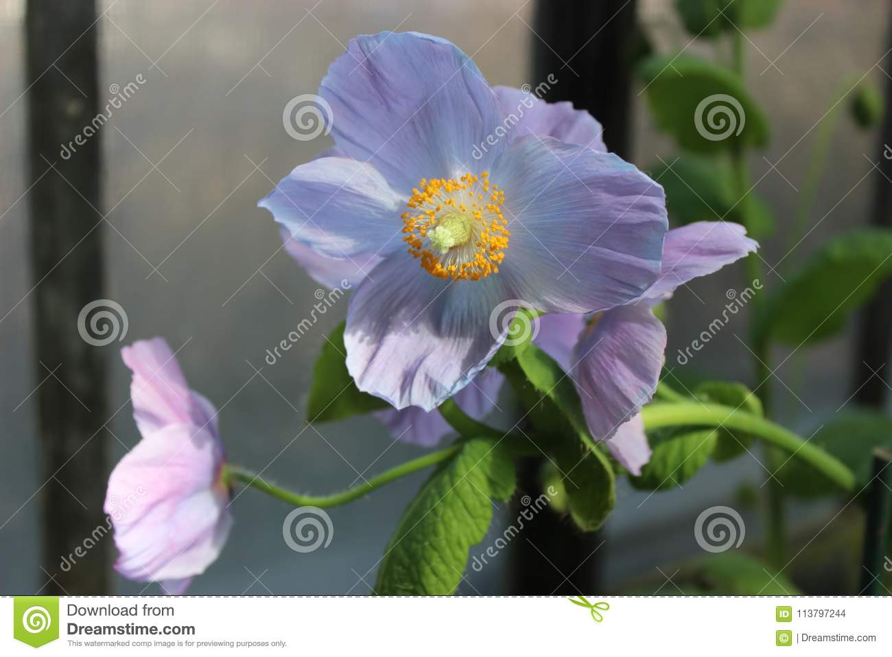 Rare and beautiful himalayan blue poppies stock photo image of only blooming in march these are beautiful blue himalayan blue poppies izmirmasajfo