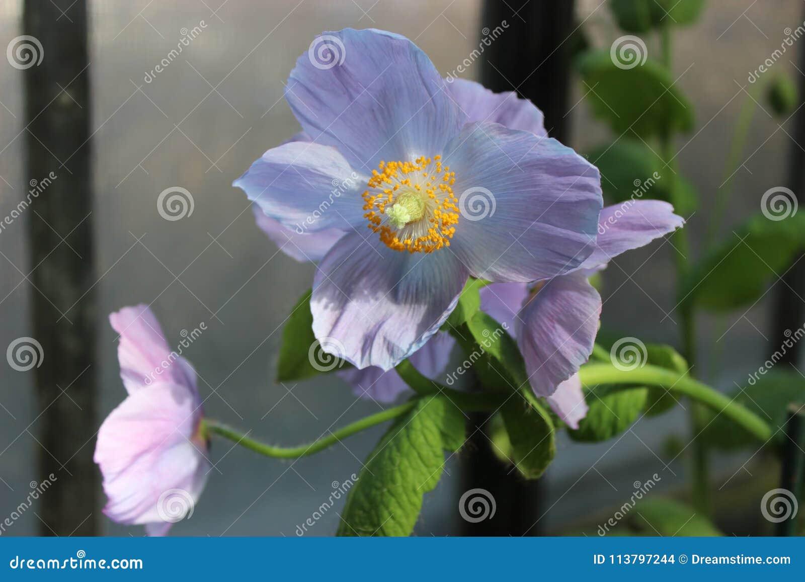 Rare And Beautiful Himalayan Blue Poppies Stock Photo Image Of