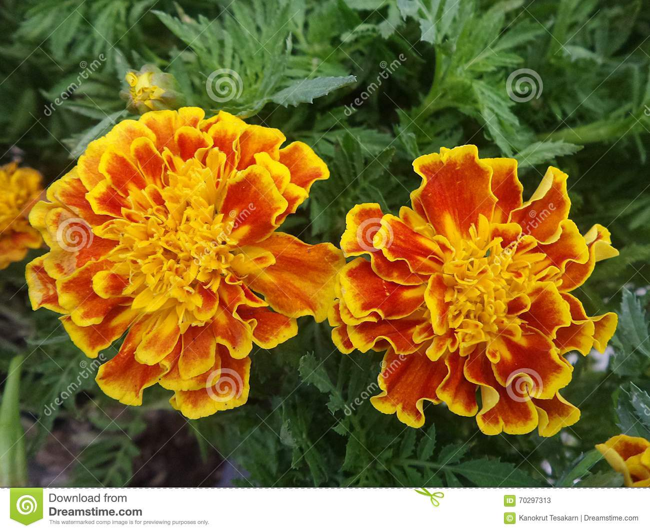 Blooming Marigold Yellow And Orange Color In Flower Garden Stock