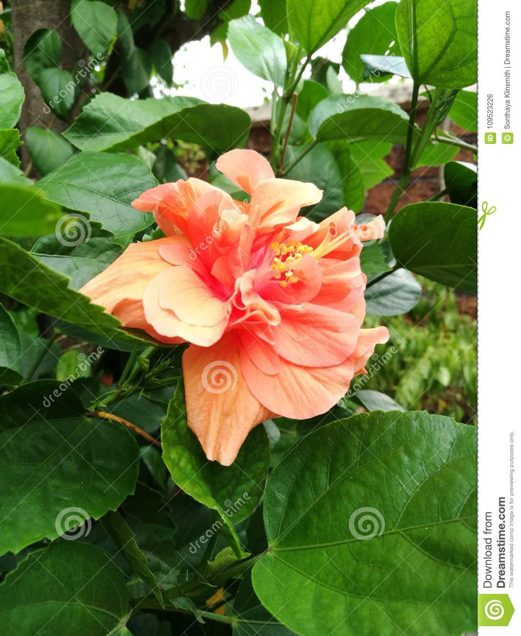 Orange Double Hibiscus Flower Stock Photo Image Of Blooming Plant