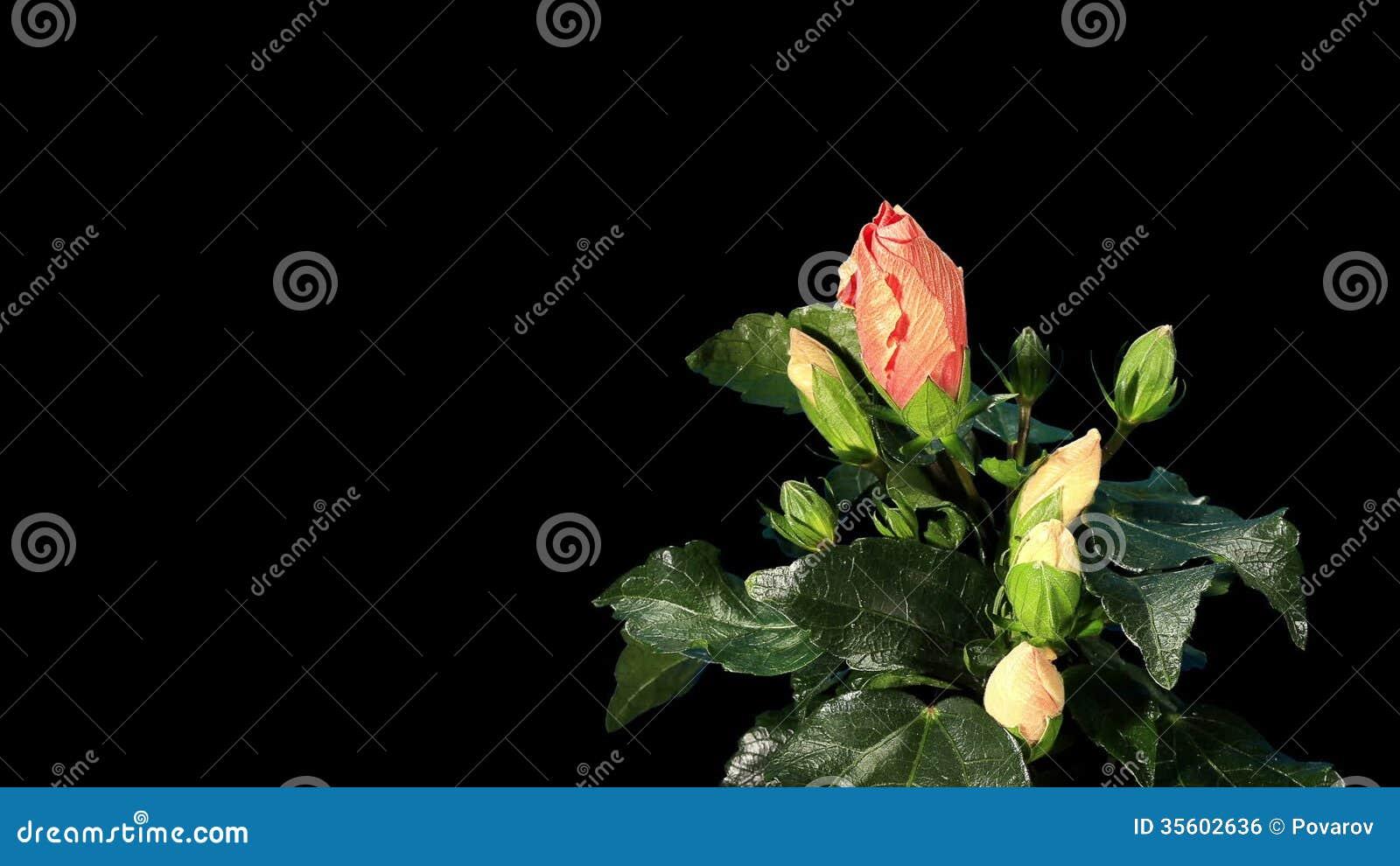 Blooming orange hibiscus flower buds alpha matte full hd stock blooming orange hibiscus flower buds alpha matte full hd stock video video of beauty beautiful 35602636 izmirmasajfo