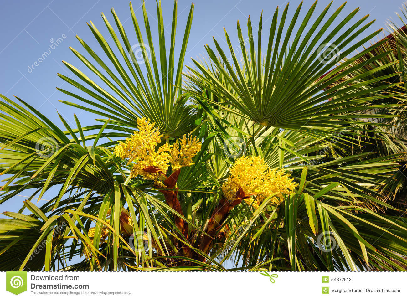 Blooming palm tree stock image image of nature flowering 54372613 blooming palm tree mightylinksfo