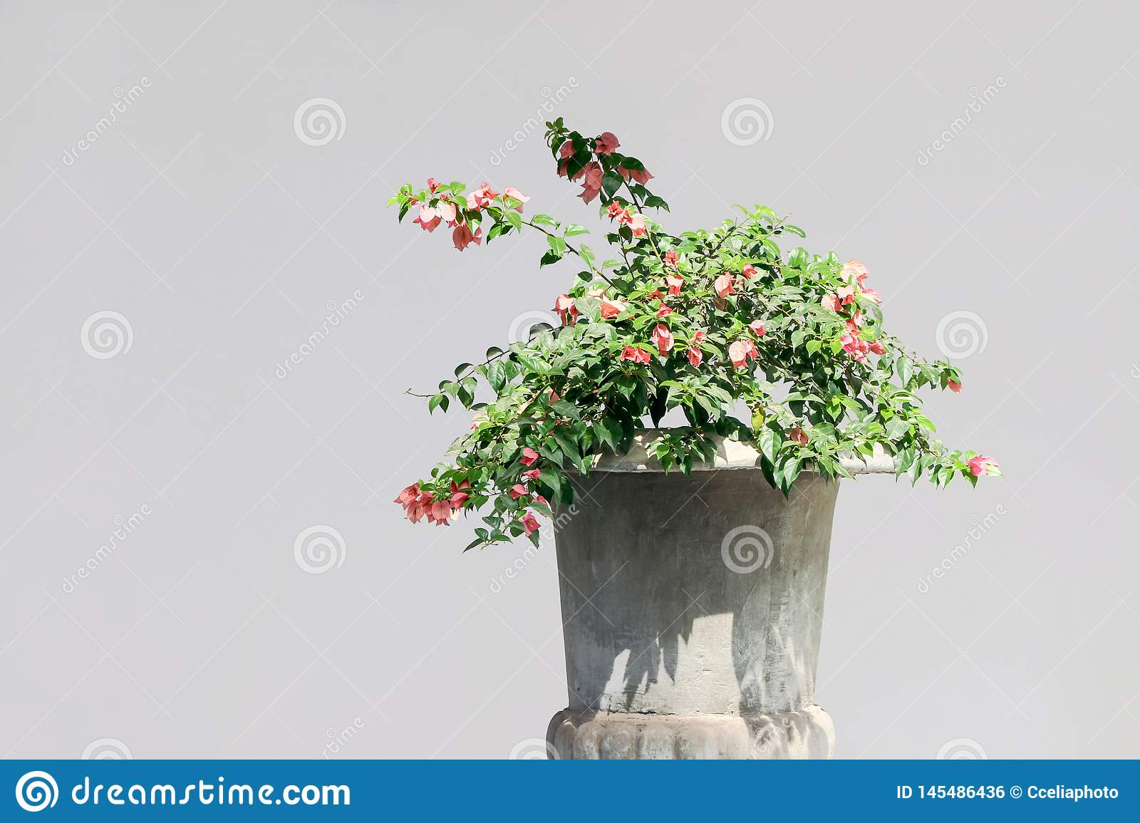 Blooming Paperflower Plant In Pot Stock Photo Image Of Isolated