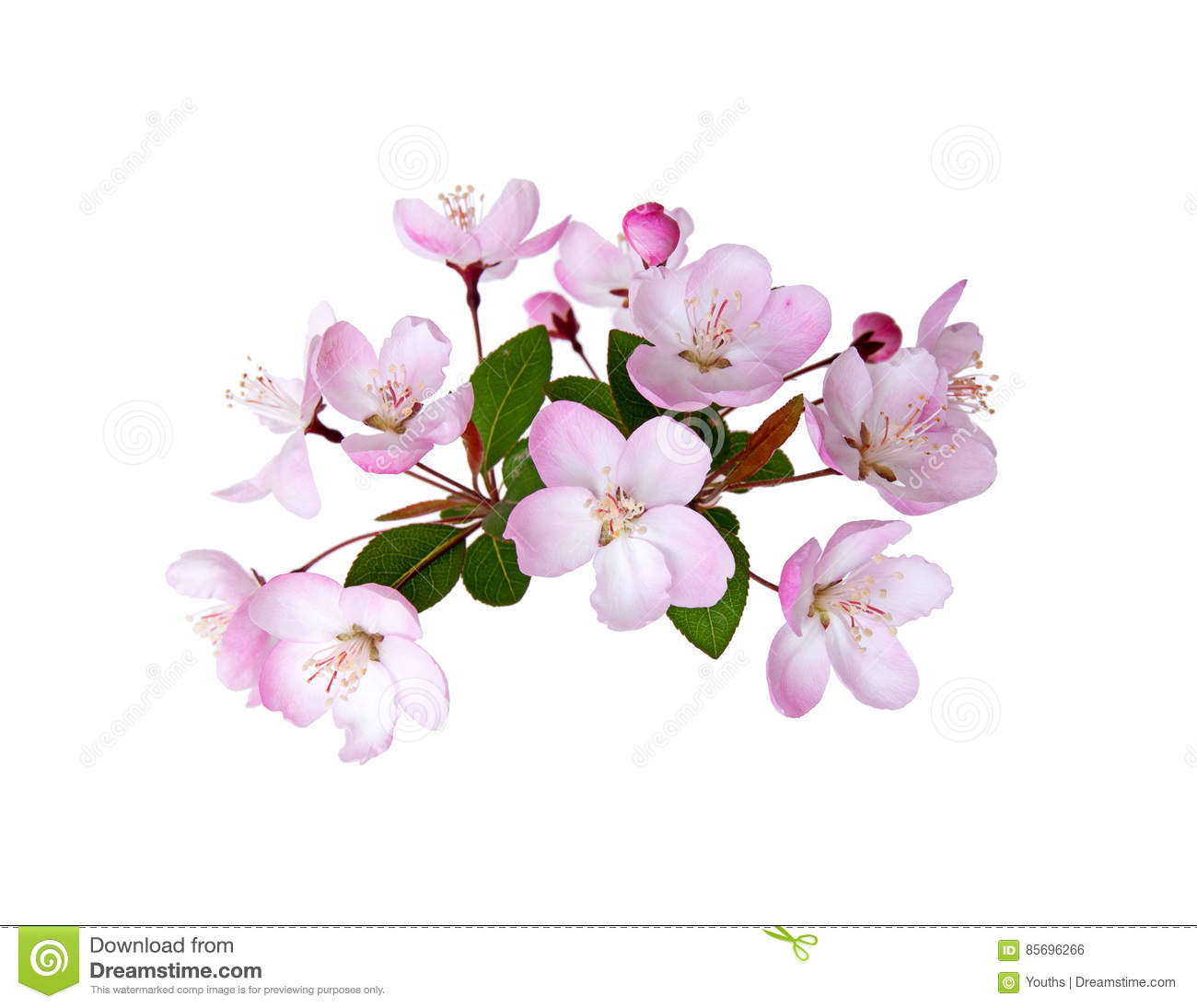 Blooming peach blossom in spring isolated on white